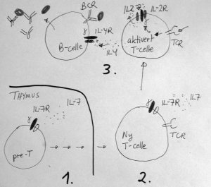 Gammakjeden trengs for utvikling og aktivering av immunceller: 1. T-celler utvikles i thymus trenger IL-7 signaler. 2. Uten IL-7R blir det ingen nye T-celler som slipper ut av thymus. 3. Aktiverte T-celler trenger IL-2 signaler, og B-celler trenger IL-4 signaler for å lage antistoffer.