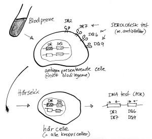 Vevstyping kan gjøres på to måter. Enten å undersøke HLA.-molekylene direkte på hvite blodlegemer (serologisk teknikk). Eller ved å isolere DNA fra kroppsceller og undersøke HLA-genene direkte (PCR-teknikk og liknende)