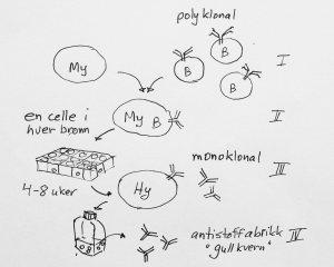 Metode for å lage monoklonale antistoffer: Mange ulike B-celler (polyklonale) fusjoneres med myelomceller (I). De fusjonerte cellene såes ut enkeltvis i dyrkningsbrønner (II). Etter noen uker har noen av cellene overlevd og blitt til mange celler av en type (monoklonal) (III). Hybridomer som lager antistoffer mot ønsket antigen taes vare på og dyrkes videre (IV). En gullkvern er skapt.