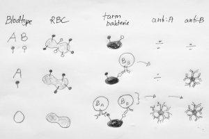 Røde blodceller (RBC) kan ha liknende sukkermolekyler som bakterier. De med AB blodtype har derfor ikke B-celler som kan danne antistoffer mot bakteriene. De med O blodtype derimot, som mangler sukkermolekylene, har slike B-celler som danner antistoffer mot bakterier i tarmen.