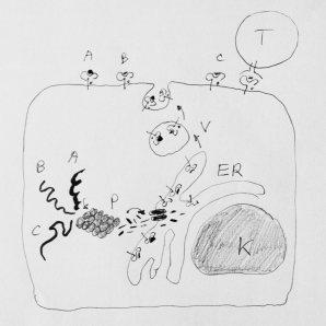 Alle proteiner (A-C) blir delt opp i peptider av proteasomet (P) og pumpet inn i endoplasmatisk retikulm (ER). Peptidene binder seg til HLA-molekyler og fraktes opp til overflaten via vesikler (V).