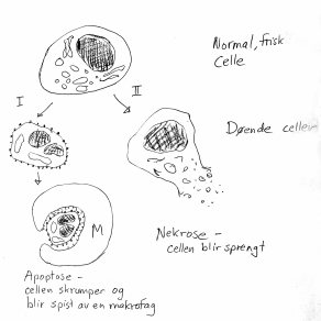 To måter celler kan dø på: Pent og ryddig (apoptose), eller kaotisk og skadelig for andre celler (nekrose).