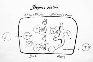 T-cellene utdannes i thymus. De som ikke klarer å lage en fungerende reseptor dør. De som reagerer for sterkt på kroppens egne peptider bundet til HLA blir drept. Bare 5% av T-cellene overlever.