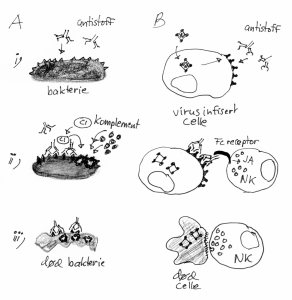 Antistoffer gjenkjenner bakterier (A i) eller virusinfiserte celler (B i). Det fører til at komplement (A ii) eller NK-celler (B ii) blir aktivert til å drepe mikroben (A iii) eller den virusinfiserte cellen (B iii).
