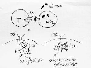 Når T-cellen blir stimulert gjennom TCR, blir signalproteinet Lck aktivert. Det setter i gang en kjedereaksjon som fører til blant annet at T-cellen lager cytokiner eller cellehormoner. Nå har vi vist at Lck kan endre bindingspreferanse, så andre signalveier blir aktivert.
