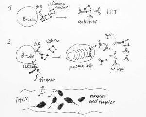 B-celler lager antistoffer mot influensavaksinen (1). Hos mennesker og hos vanlige mus med bakterier i tarmen, vil stoffer fra bakteriene (flagellin) stimulere B-cellene til å lage mer antistoff mot vaksinen (2).