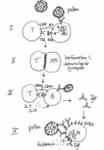 I. T-cellen gjenkjenner pollenpeptid i HLA-molekyler på antigenpresenterende celle (APC). II. T-cellen og APC etablerer en tett kontakt, en immunologisk synapse i 8-9 timer. III. Den nå erfarne T-cellen stimulerer B-celler til å lage IgE. IV. IgE binder seg til overflaten av mastceller via Fc receptor E (FCRE). Når pollen binder seg, frigjøres histamin.